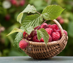 Organic raspberries are one of the fruits used in Placenta Smoothies